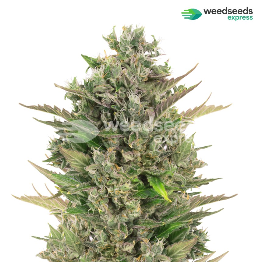 Critical CBD feminized seeds plant