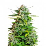 Critical feminized seeds plant thumbnail