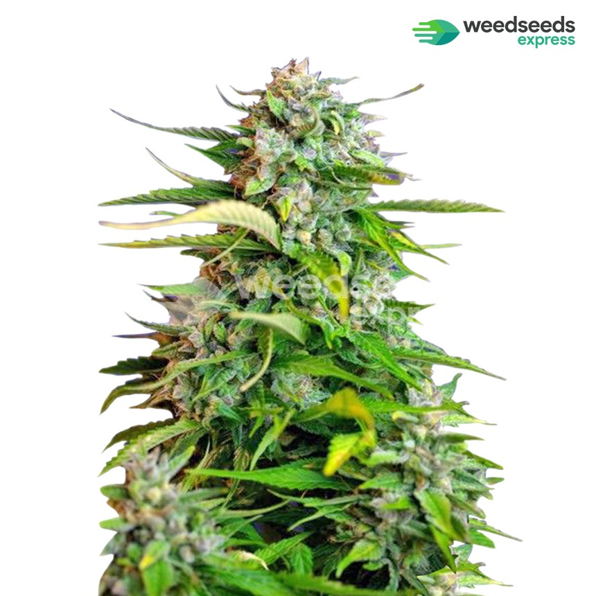 Critical feminized seeds plant