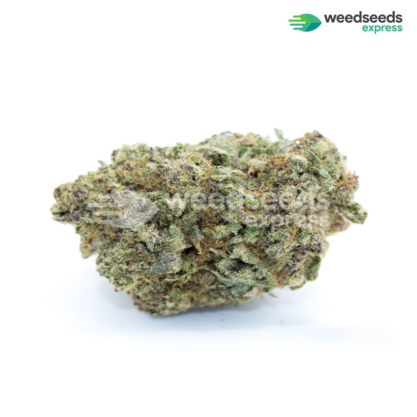 Critical White feminized seeds bud