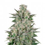 Critical White feminized seeds plant thumbnail