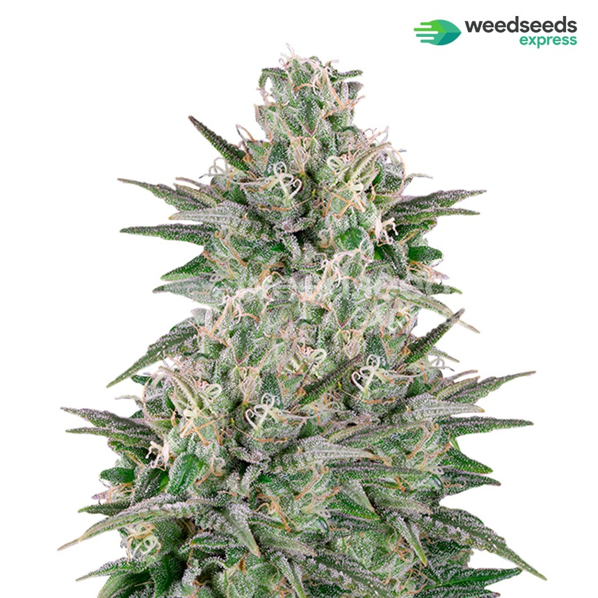 Critical White feminized seeds plant