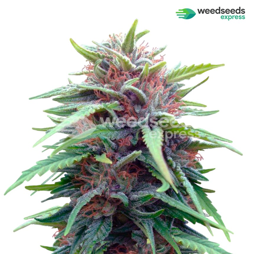 Durban Poison feminized seeds plant
