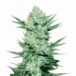 Girl Scout Cookies autoflowering seeds plant thumbnail