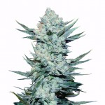 Girl Scout Cookies feminized seeds plant thumbnail
