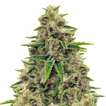 Godfather OG feminized seeds plant thumbnail