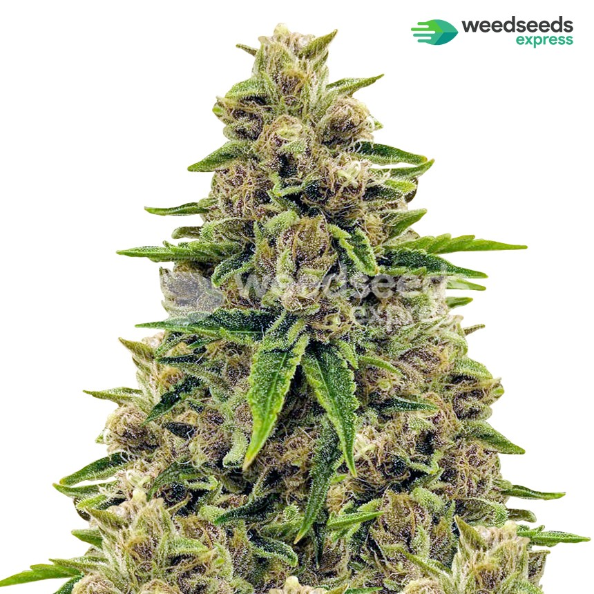 Godfather OG feminized seeds plant