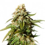 Gorilla Glue feminized seeds plant thumbnail