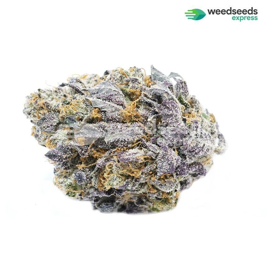 Granddaddy Purple feminized seeds bud