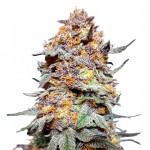 Granddaddy Purple feminized seeds plant thumbnail