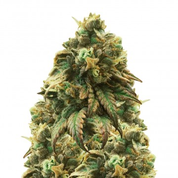 Green Crack feminized seeds