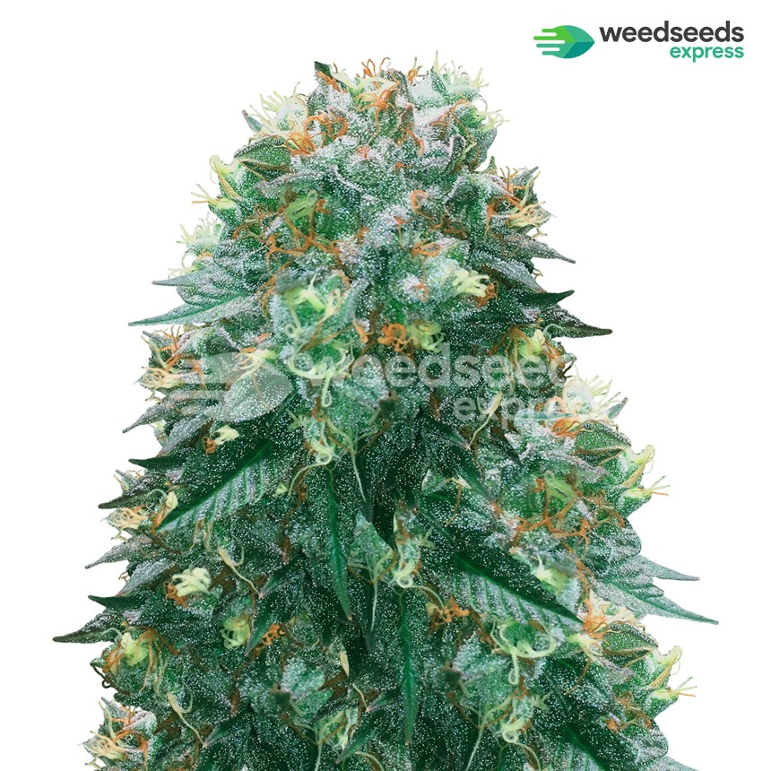 Harlequin feminized seeds plant