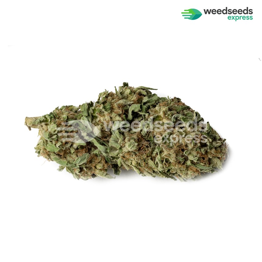 Haze 1 feminized seeds bud