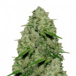 Haze 1 feminized seeds plant thumbnail