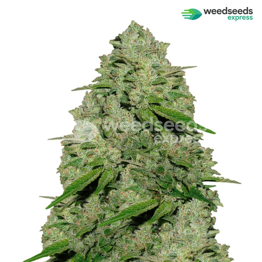 Haze 1 feminized seeds plant