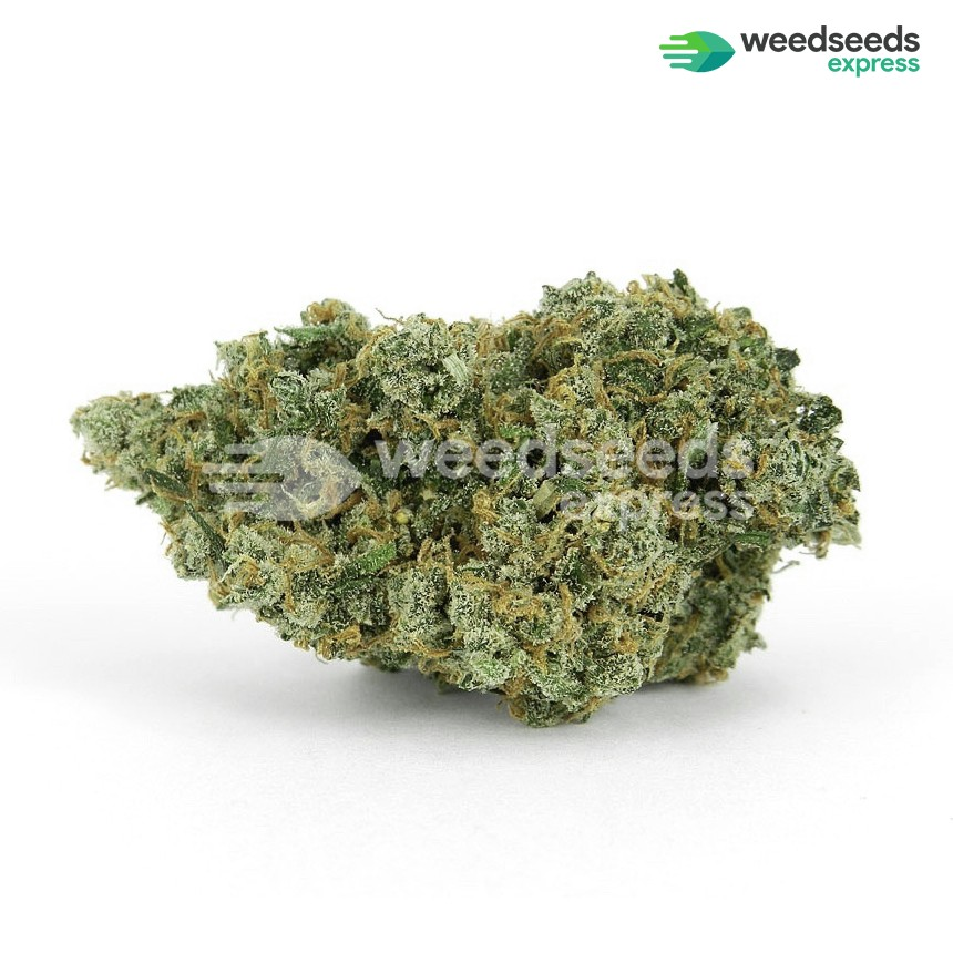 Jack Herer feminized seeds bud