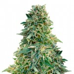 Jack Herer feminized seeds plant thumbnail