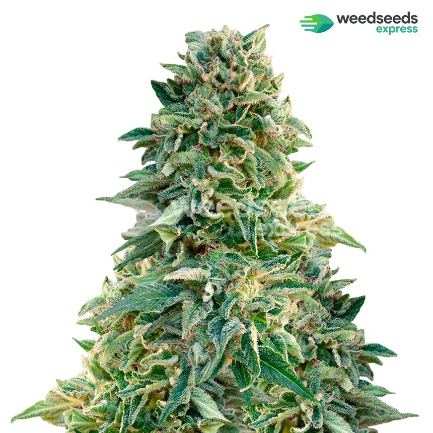 Jack Herer feminized seeds plant