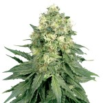 Jack Widow feminized seeds plant thumbnail