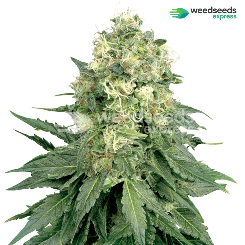Jack Widow feminized seeds plant