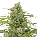 Lithium OG Kush feminized seeds plant thumbnail