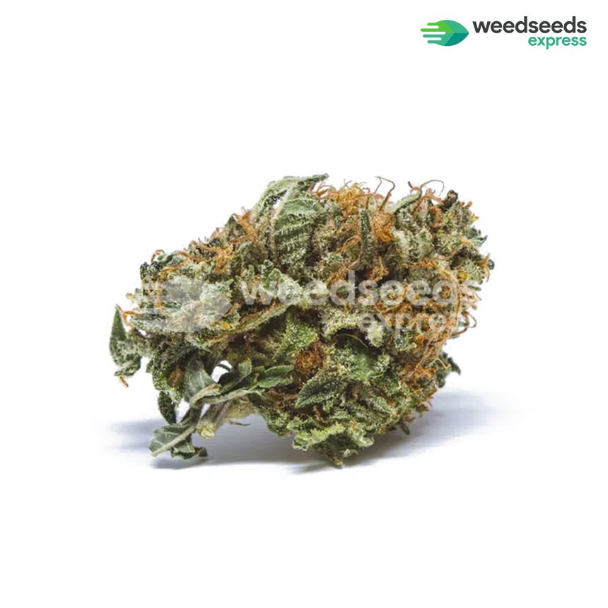 Master Kush regular seeds bud