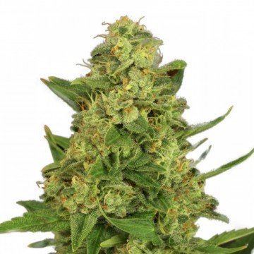 Low odor weed strains for sale | Free + Worldwide shipping