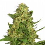 Master Kush regular seeds plant thumbnail