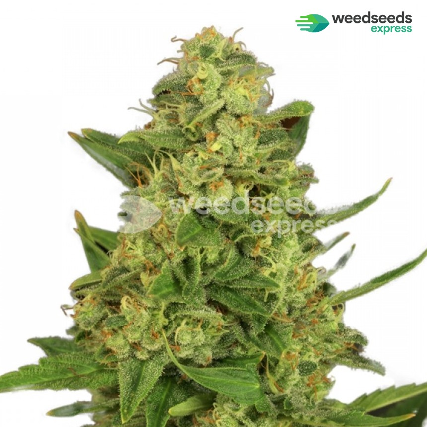 Master Kush regular seeds plant