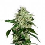 Northern Lights feminized seeds plant thumbnail