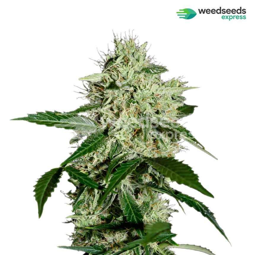 Northern Lights feminized seeds plant