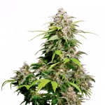 Pineapple Express feminized seeds plant thumbnail