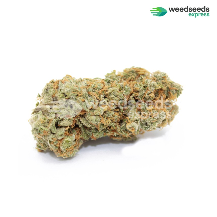 Sexxpot feminized seeds bud