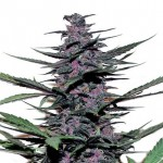 Sirius Black feminized seeds plant thumbnail