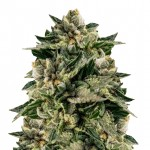 Skywalker OG feminized seeds plant thumbnail