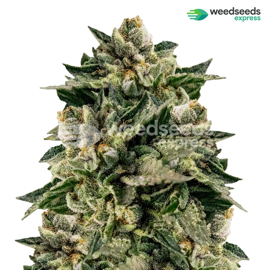 Skywalker OG feminized seeds plant