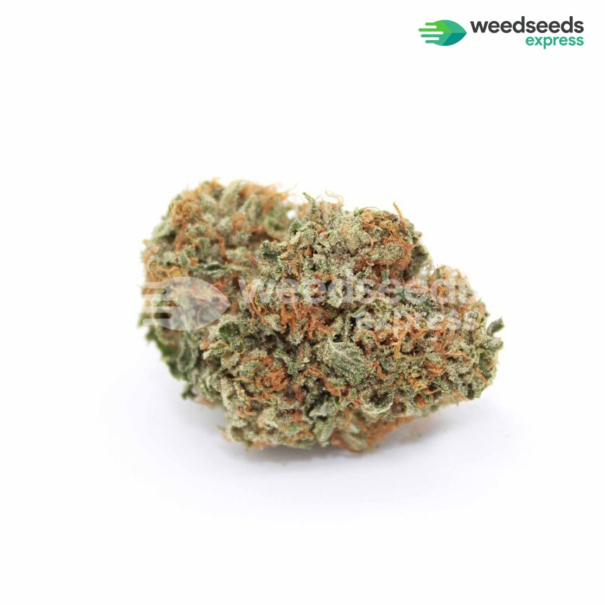 Snow White feminized seeds bud