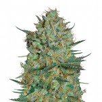 Snow White feminized seeds plant thumbnail