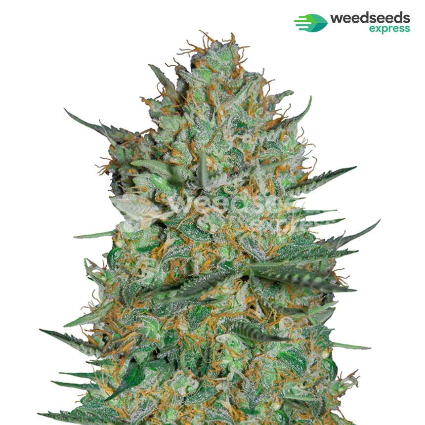 Snow White feminized seeds plant