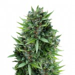 Sour Diesel feminized seeds plant thumbnail