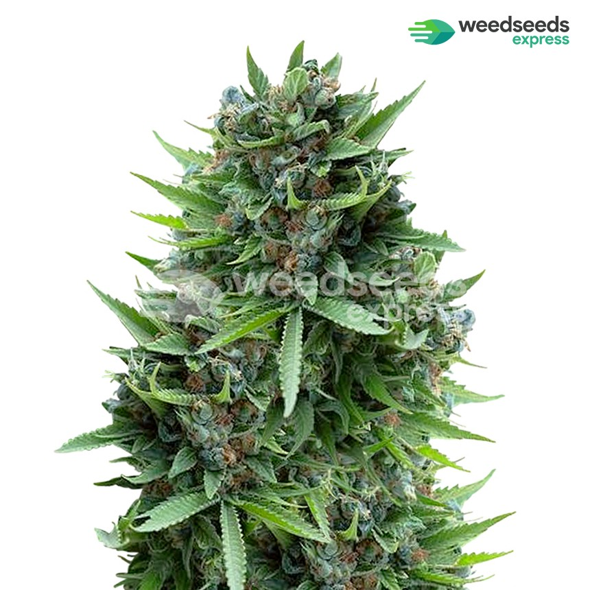 Sour Diesel feminized seeds plant