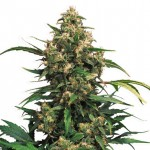 Strawberry Cough feminized seeds plant thumbnail
