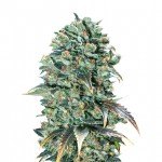 Super Glue feminized seeds plant thumbnail