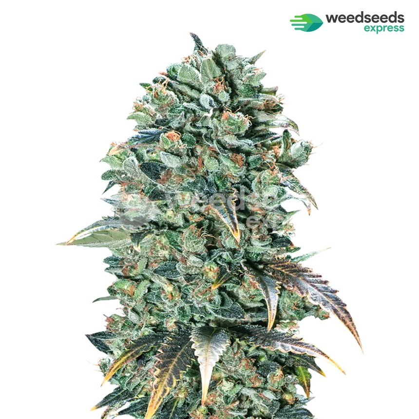 Super Glue feminized seeds plant