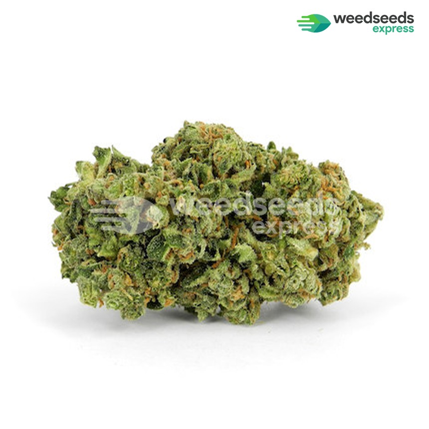 Super Silver Haze feminized seeds bud