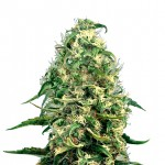 Super Silver Haze feminized seeds plant thumbnail