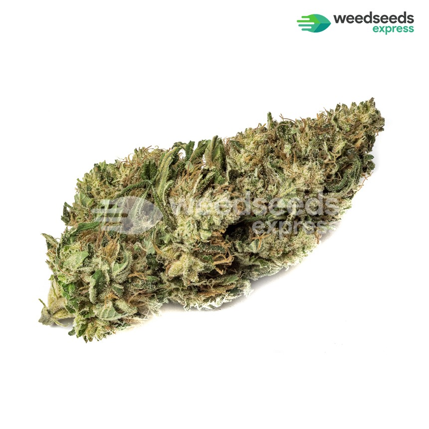 White Russian feminized seeds bud