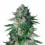 White Widow feminized seeds plant thumbnail
