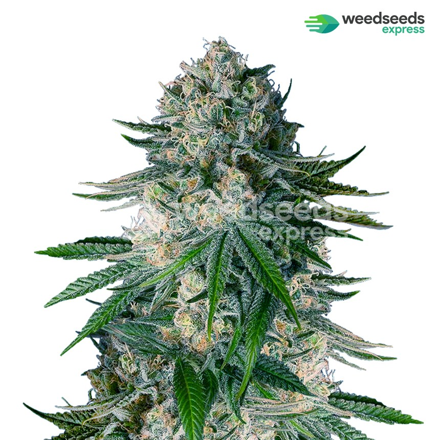White Widow feminized seeds plant