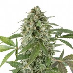 White Widow x Northern Lights feminized seeds plant thumbnail
